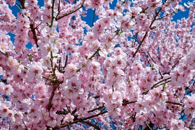 本日のオススメは桜のドーナツです!
